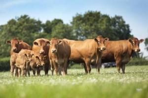 Dinmore Herd