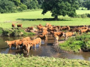 Killerton Limousin Heifers river crossing