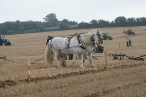 Killerton Limousin hosts - Ploughing Team