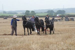 Killerton Limousin Traditional Ploughing Team