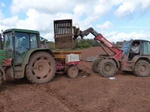 Killerton Limousin Potato Picking