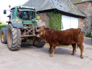 Killerton Limousin halter training