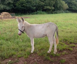 Killerton Limousin new arrival Nigel the donkey