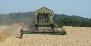 Wheat Harvest at Killerton