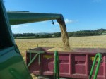Winter Barley july 2014