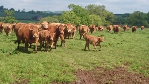 Killerton Herd